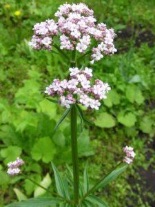 травы при гипертонии -валериана