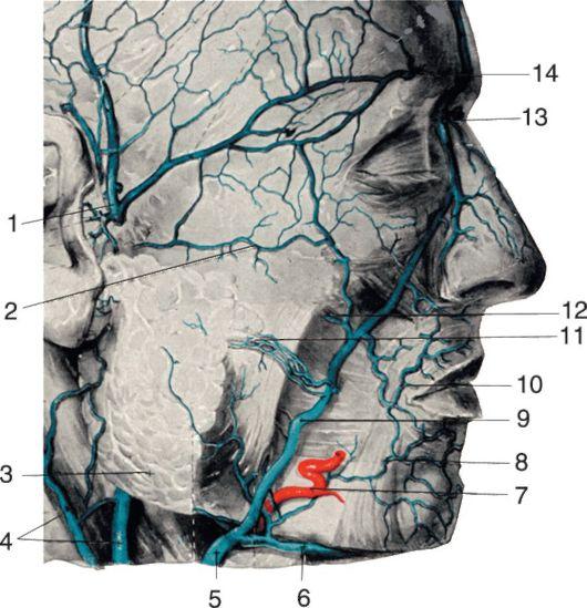 анатомия вен лица