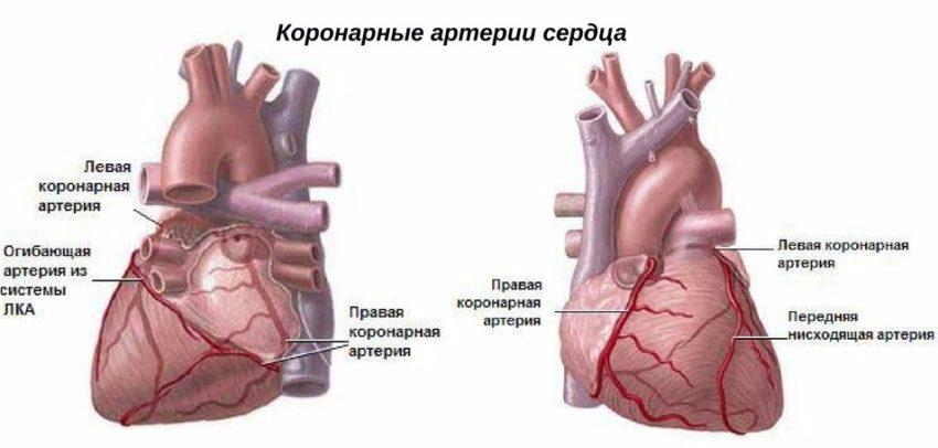 коронарные артерии сердца