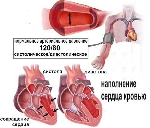 механизм систолы и диастолы
