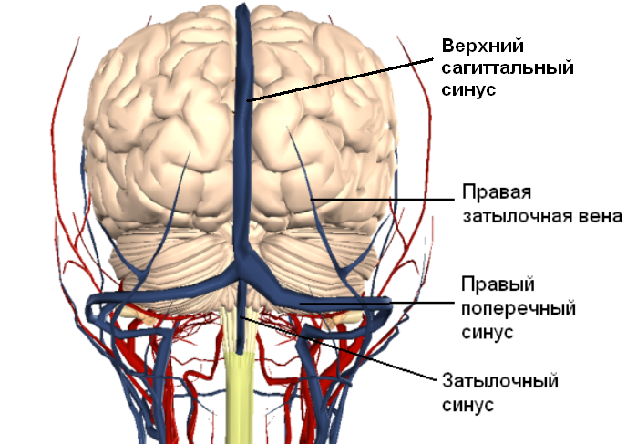 Мозговые синусы