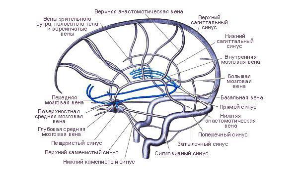 Что такое синусы головного мозга