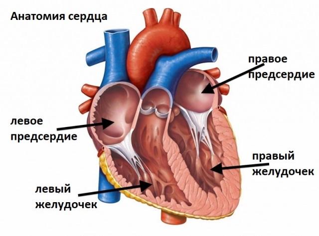 Правый и левый желудочки сердца