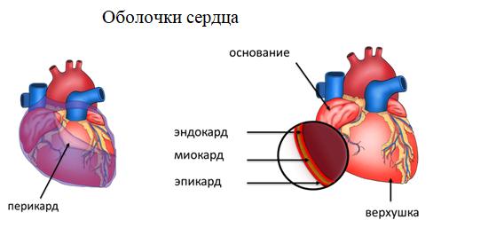 Оболочки сердца