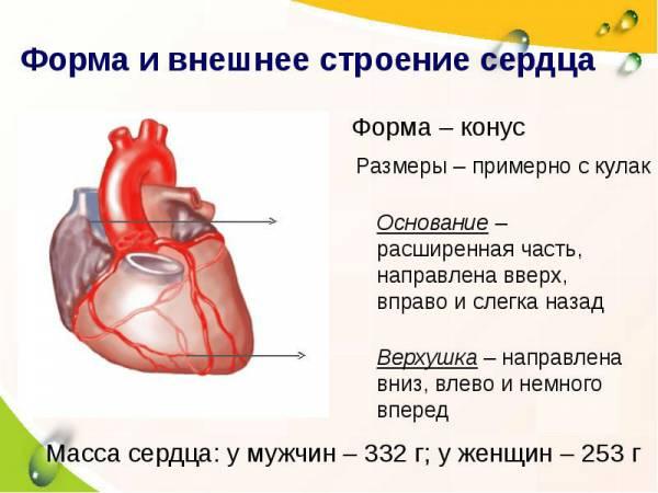 Внешнее строение сердца