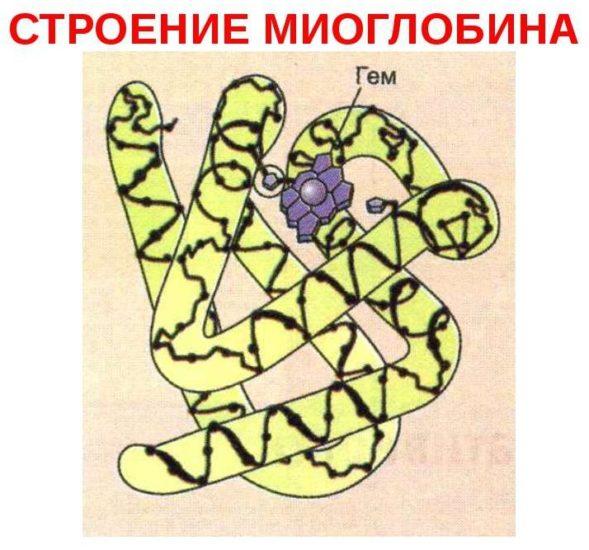миоглобин строение
