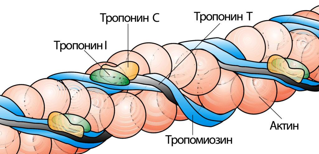 тропонинкомплекс
