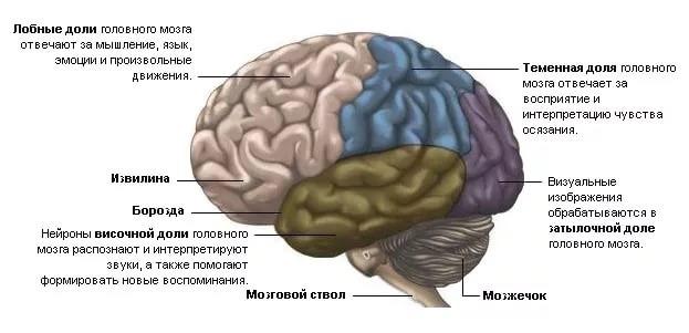 лобные доли мозга