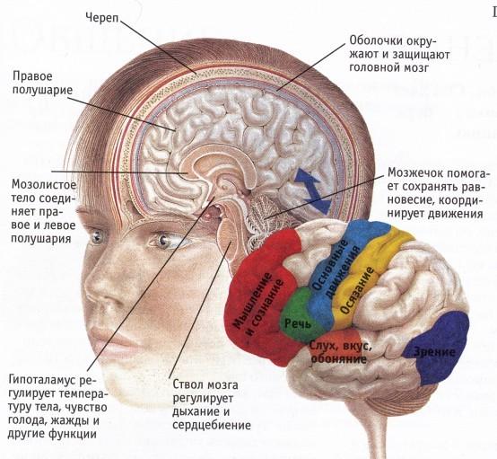 стволовой инсульт-строение мозга