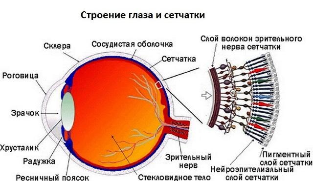 Строение глаза и сетчатки