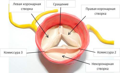 трехстворчатый клапан сердца