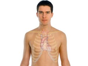 размер сердца человека