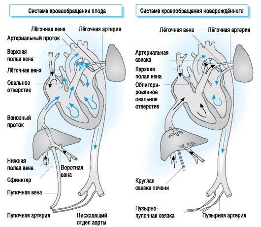 система кровообращения плода