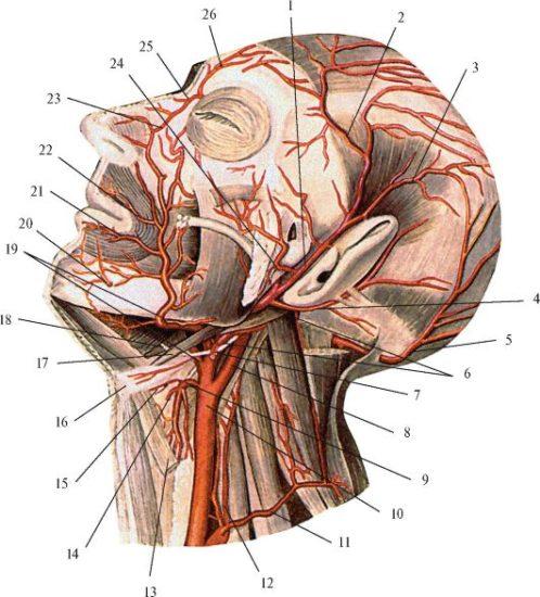 анастамозы артерий