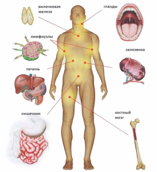 огрганы имунной системы