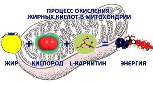 процесс окисления выработка л-карнитина