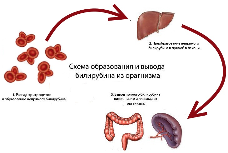 Вывод билирубина из организма