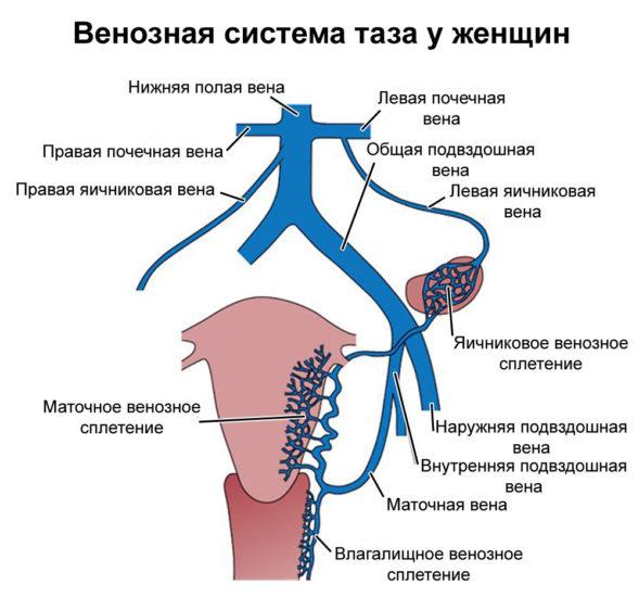 женская венозная система таза
