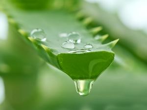 Сок листьев алоэ при лечении экземы при варикозе