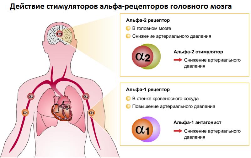 действие стимуляторов альфа-рецепторов головного мозга