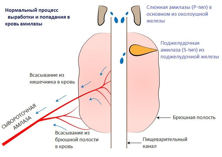 Выработка амилазы в организме