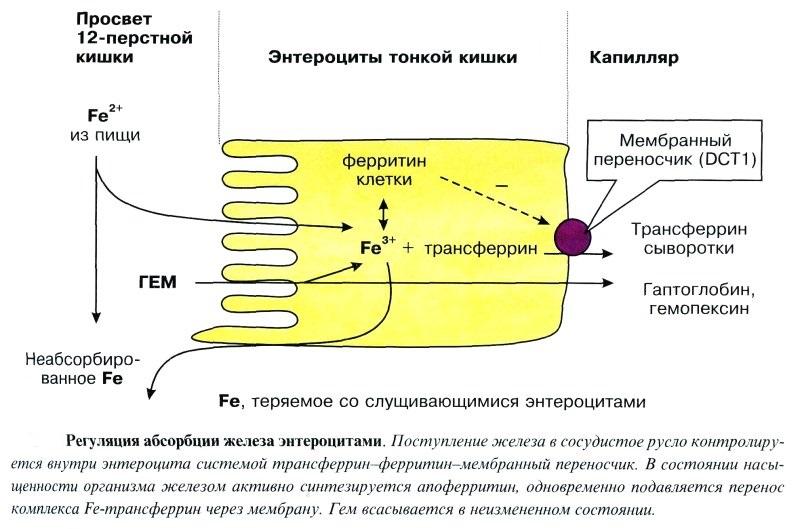 Механизм регуляции синтеза ферритина железом