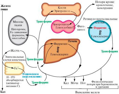 Функция ферритина