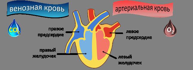 Венозная кровь в отделах сердца