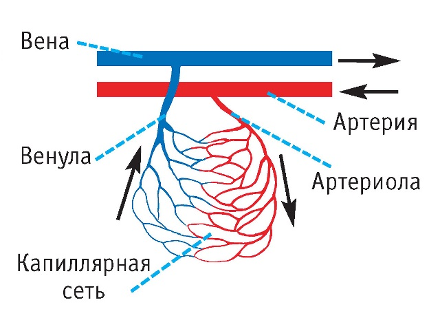 Капиллярная и венозная кровь: отличия