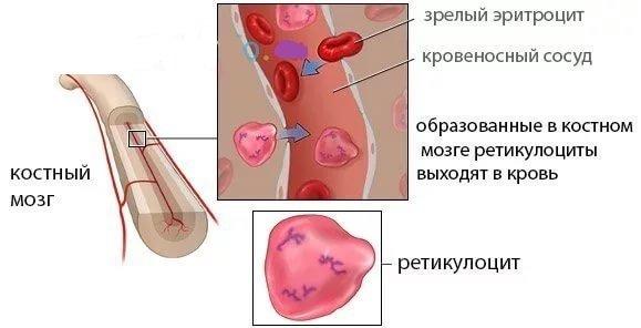 Образование ретикулоцитов в крови