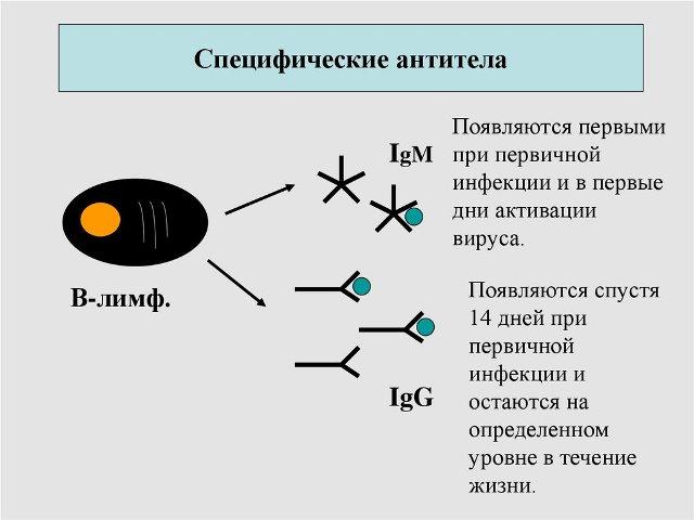 Специфические антитела