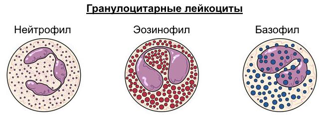эозинофил