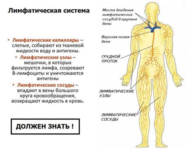 лимфатисечкая система