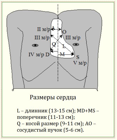 размеры сердца