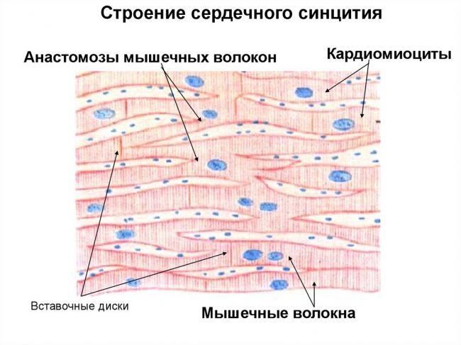 Кардиомиоциты