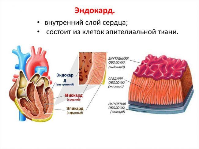эндокард